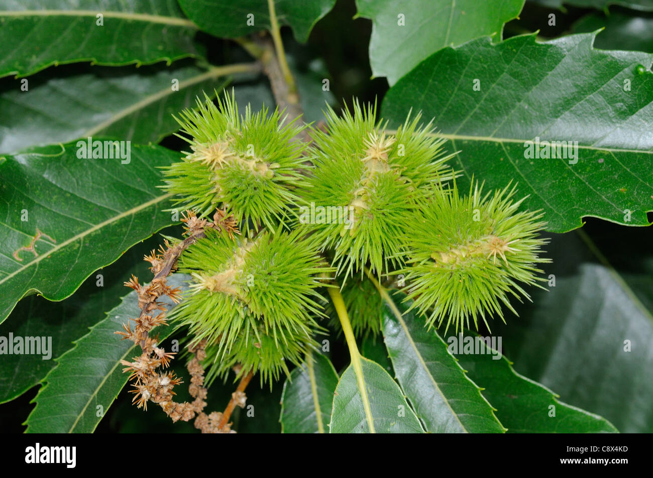 Sweet Chestnut (Castanea sativa) fruits Stock Photo
