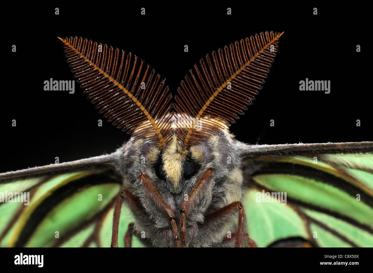 Spanish Moon Moth (Graellsia isabellae) close-up of male showing large antennae, captive bred, Europe - Stock Image