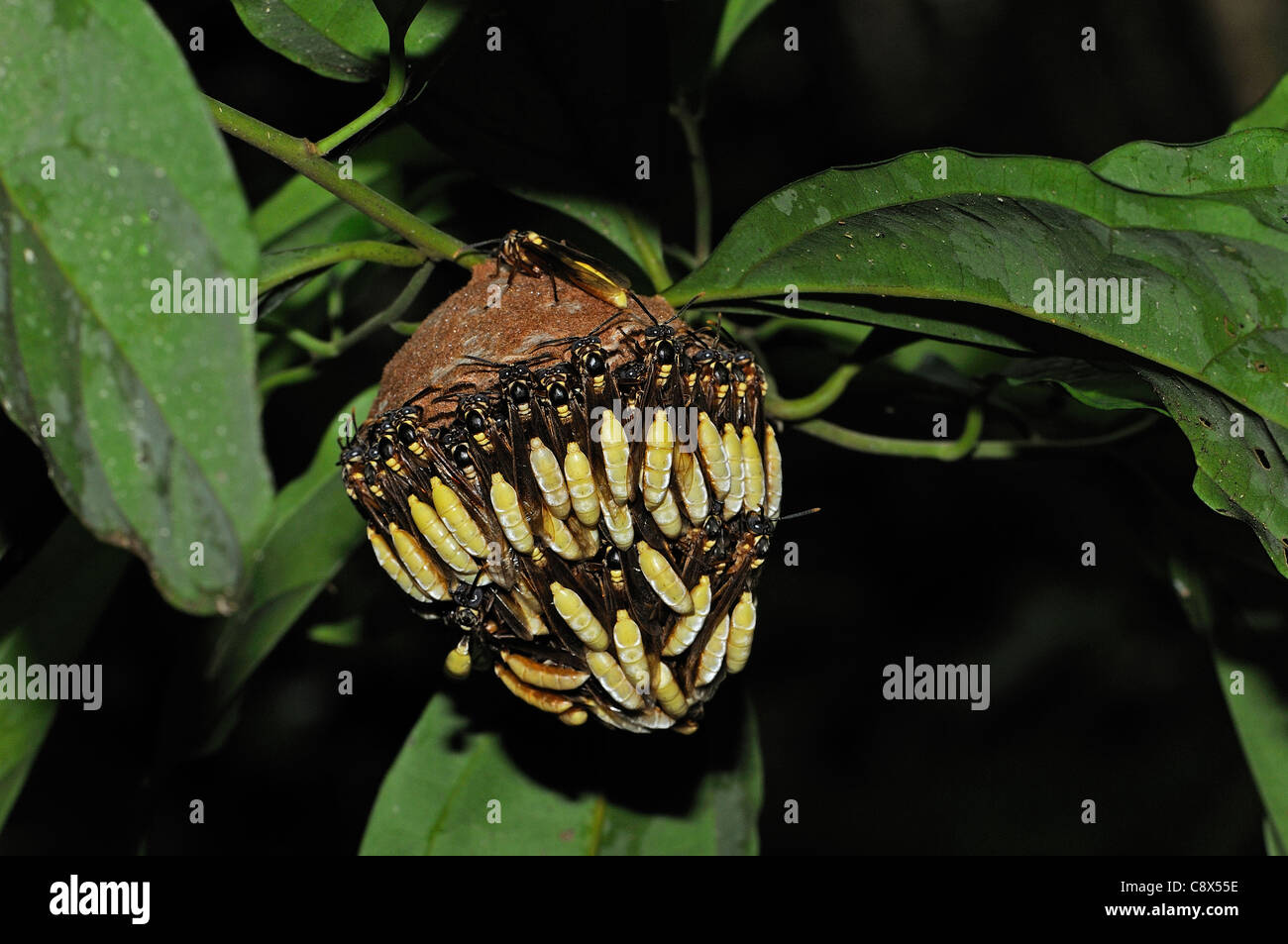 Parasol Communal Paper wasp (Apoica) adults covering outside of hanging nest, Yasuni National Park, Ecuador - Stock Image
