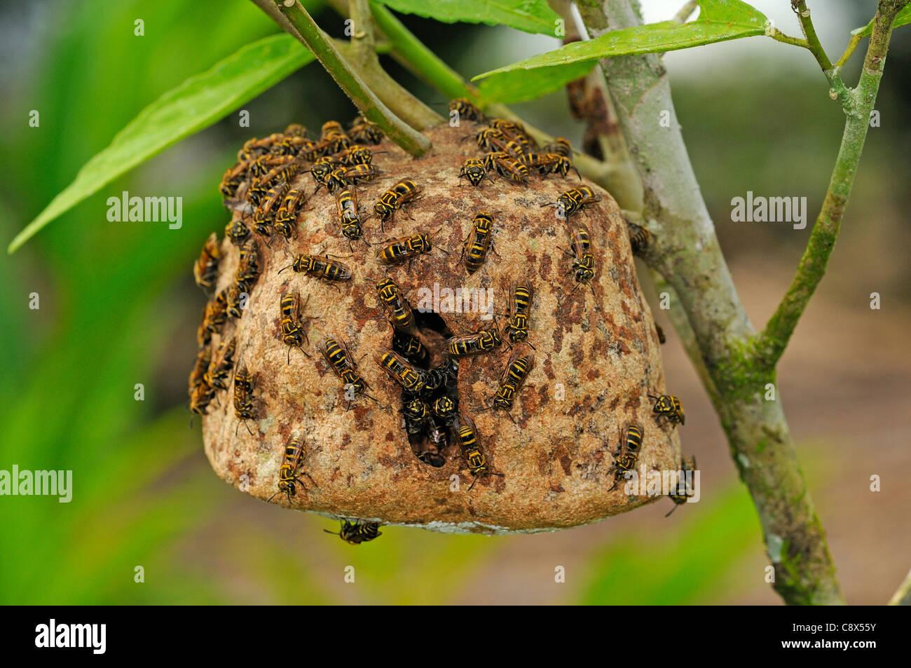 Communal Wasp (Vespidae) several walking on nest surface, nest hanging in bush, Yasuni National Park, Ecuador - Stock Image