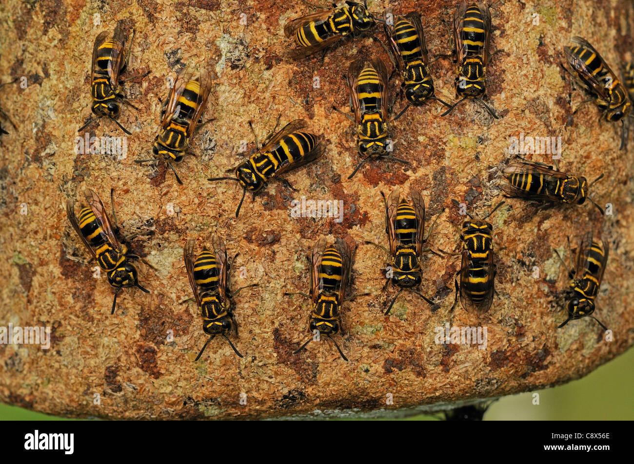 Communal Wasp (Vespidae) several walking on nest surface, Yasuni National Park, Ecuador - Stock Image