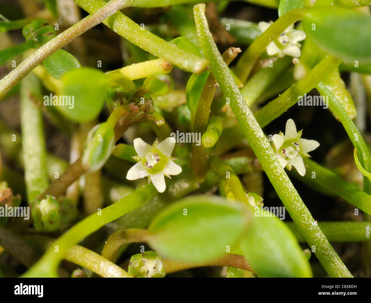 Mudwort, Limosella aquatica - Stock Image