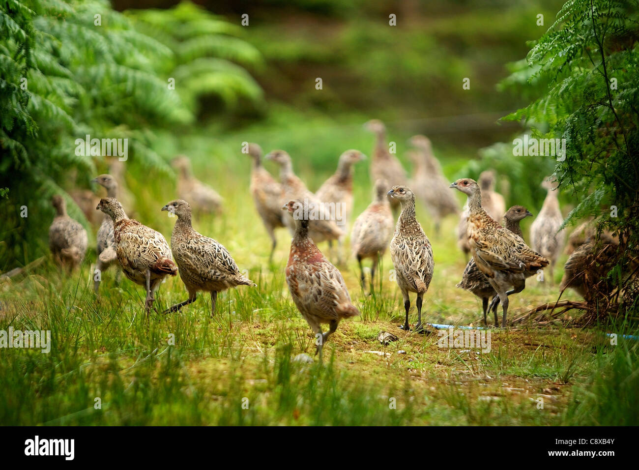 Young pheasant poults being released into pens in summer - Stock Image