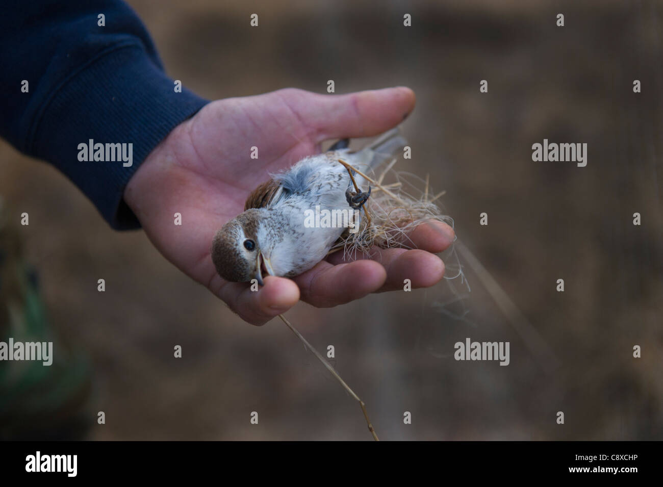 Red-backed Shrike Lanius collurio cut out from a trappers illegal mist net Cyprus autumn Stock Photo