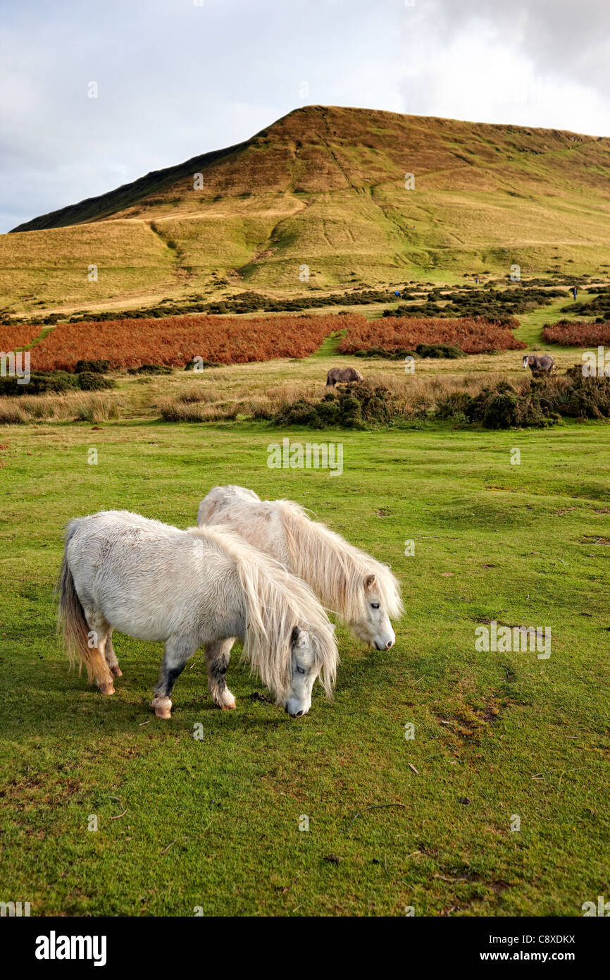 Wild ponies grazing at the foot of Hay Bluff, Wales - Stock Image