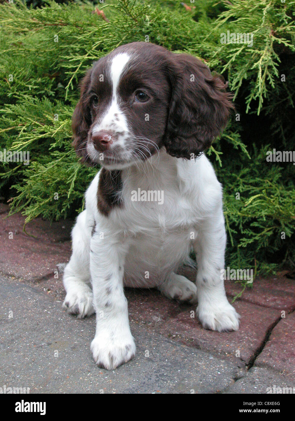 Coloriage Chien Springer.This Is A Springer Spaniel Puppy Stock Photo 39919896 Alamy