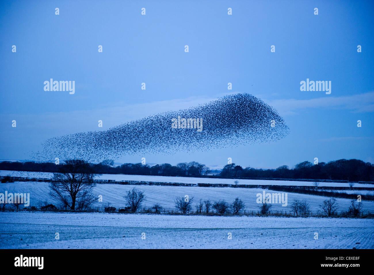 Starlings Sturnus vulgarus arriving at night time roost near Gretna Scotland December - Stock Image