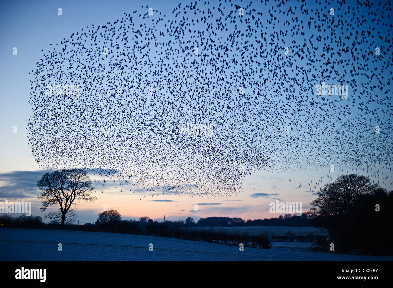 Starlings Sturnus vulgarus arriving at night time roost near Gretna Scotland December - Stock Image