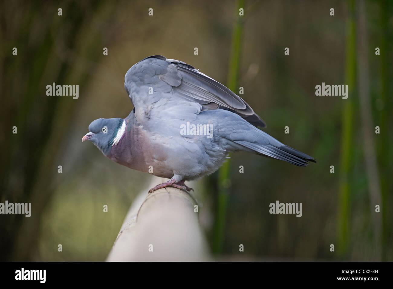 Wood Pigeon Columba palumbus Norfolk winter - Stock Image