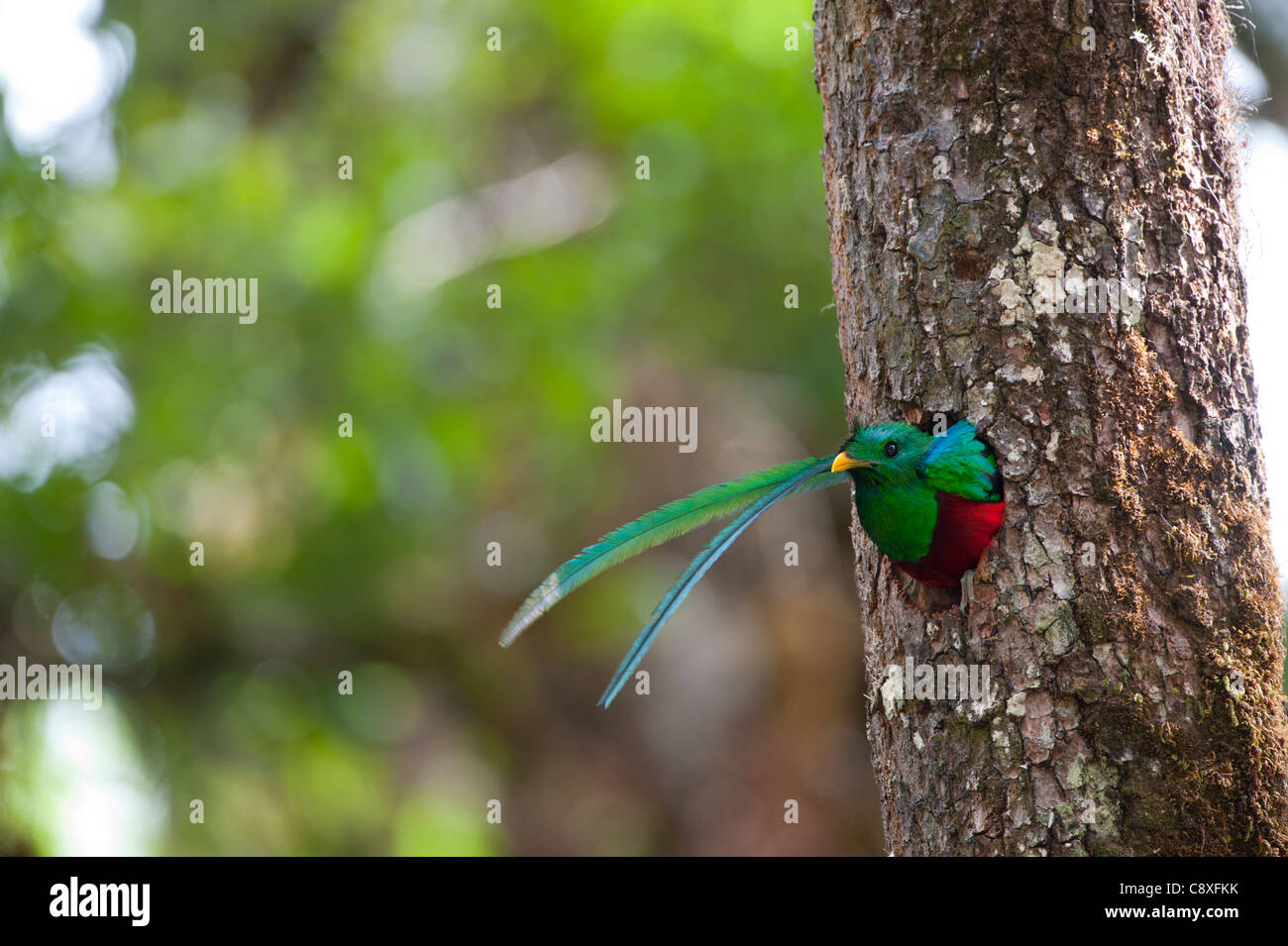 Resplendent Quetzal Pharomachrus moccino male looking out of nest hole Central Highlands Costa Rica - Stock Image