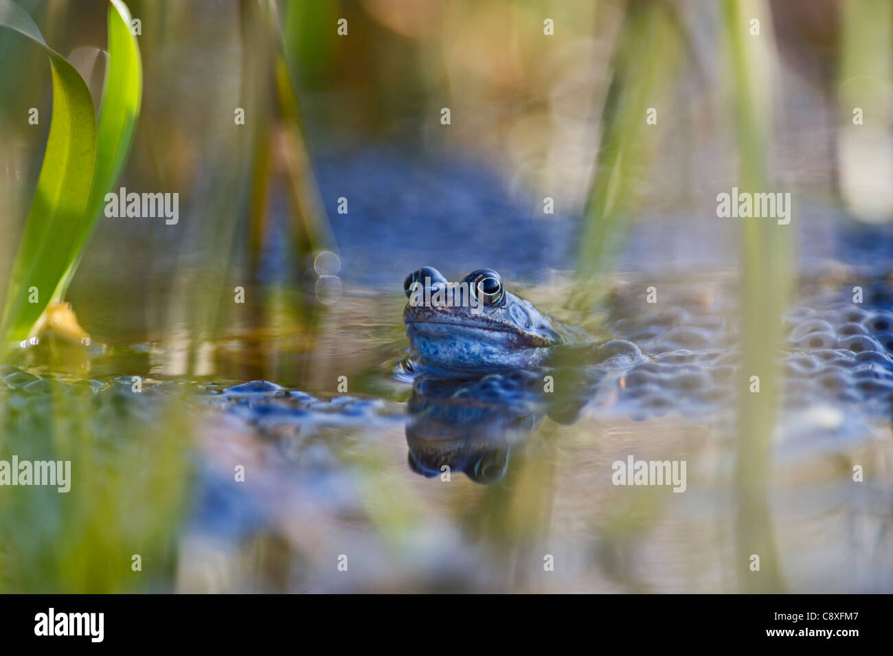 Common Frog Rana temporaria with spawn in garden pond Norfolk March - Stock Image