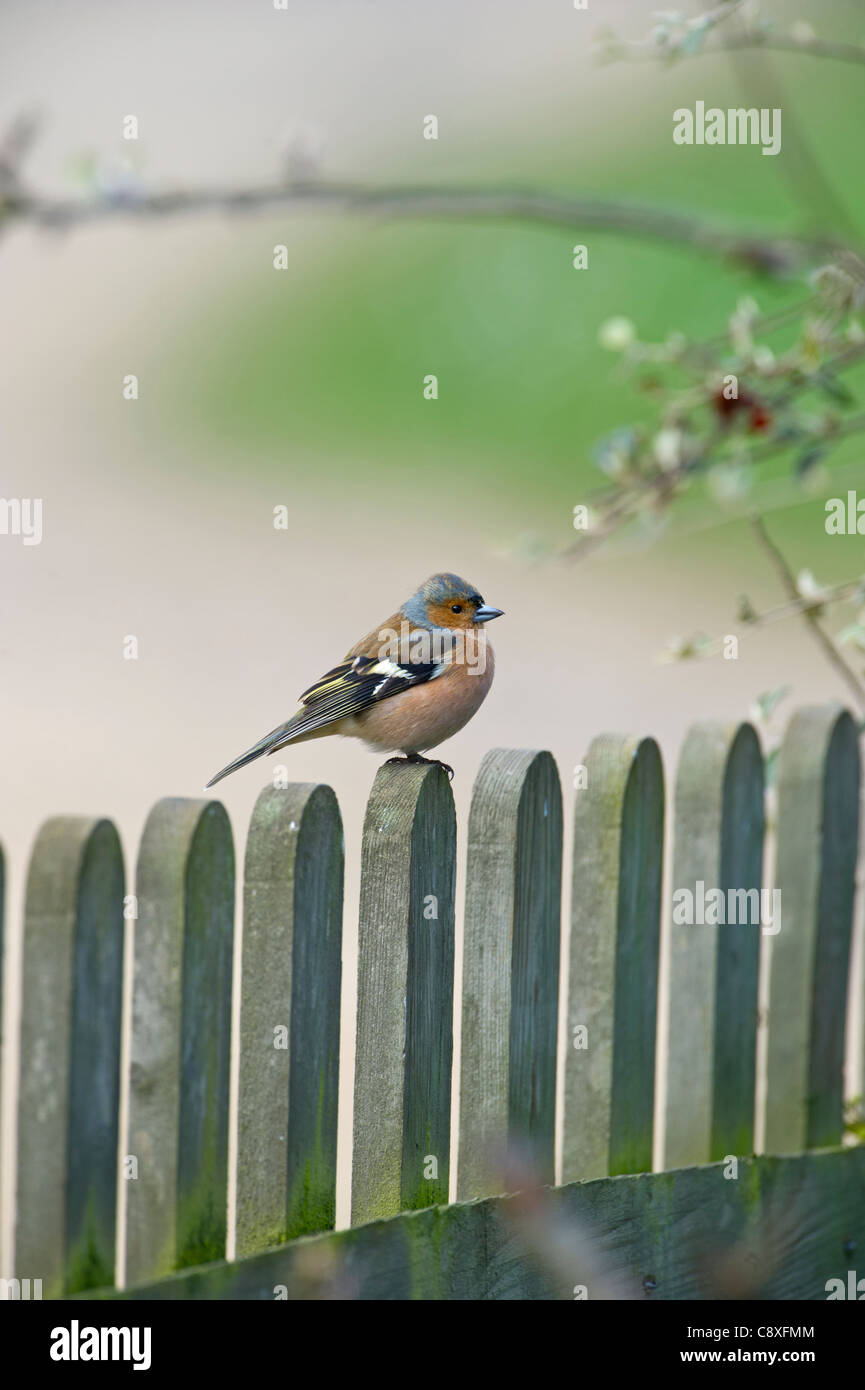 Chaffinch Fringilla coelebs male on garden fence UK spring - Stock Image