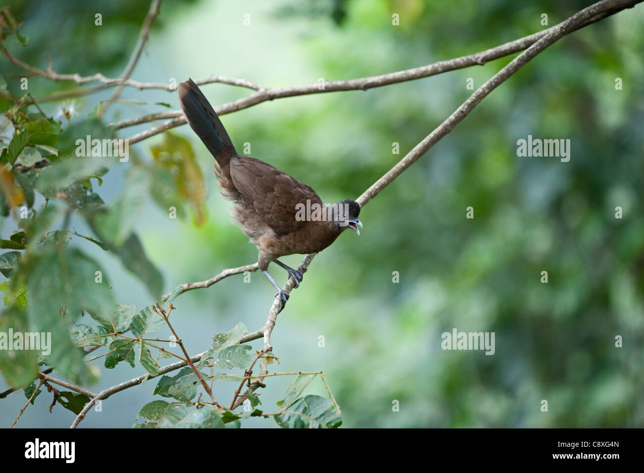 Grey-headed Chachalaca Ortalis cinereiceps Rancho Naturalista Costa Rica - Stock Image