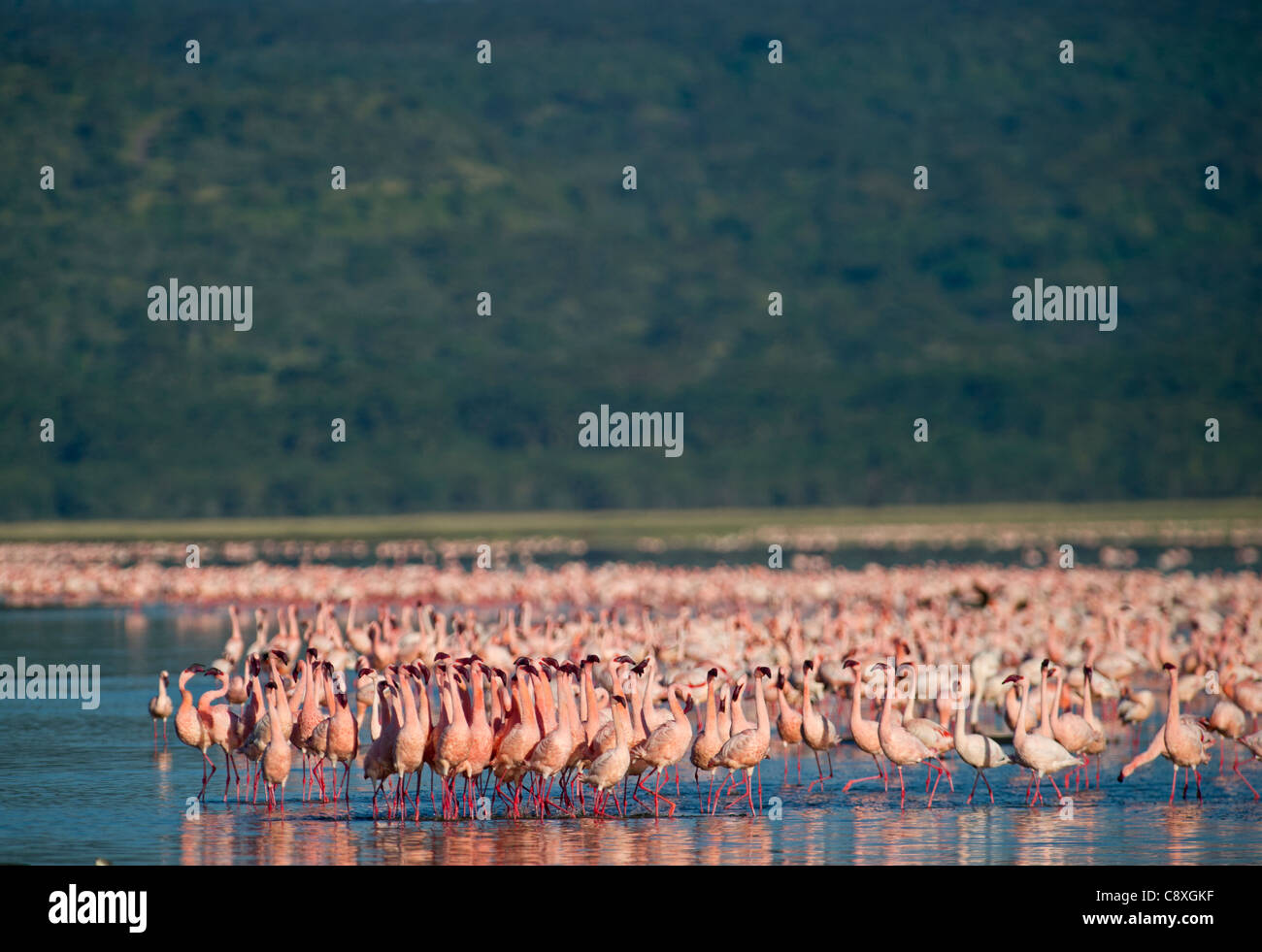 Lesser Flamingos Phoenicopterus minor on Lake Nakuru Kenya - Stock Image