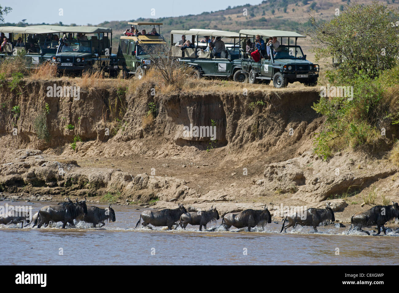 Tourists watching Wildebeest crossing Mara River during Great Migration Kenya August Stock Photo