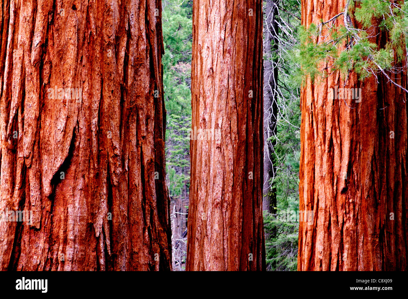 Redwood trees in the Mariposa Grove, Yosemite National Park, California Stock Photo