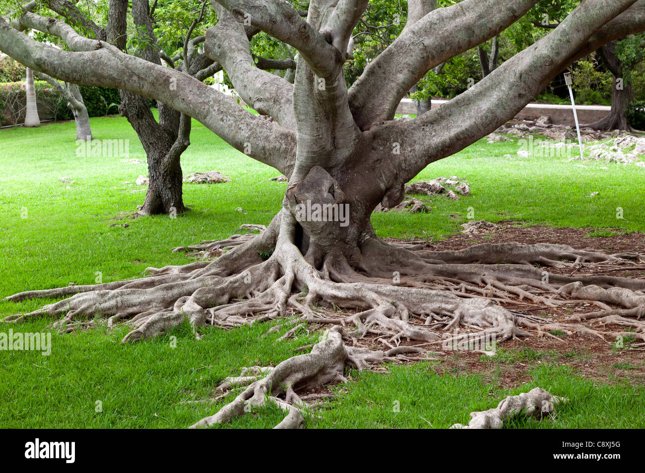 Roots and trunk of a young Banyan Tree (Strangler Fig), growing in the gardens of the Crystal Caves, Bermuda - Stock Image