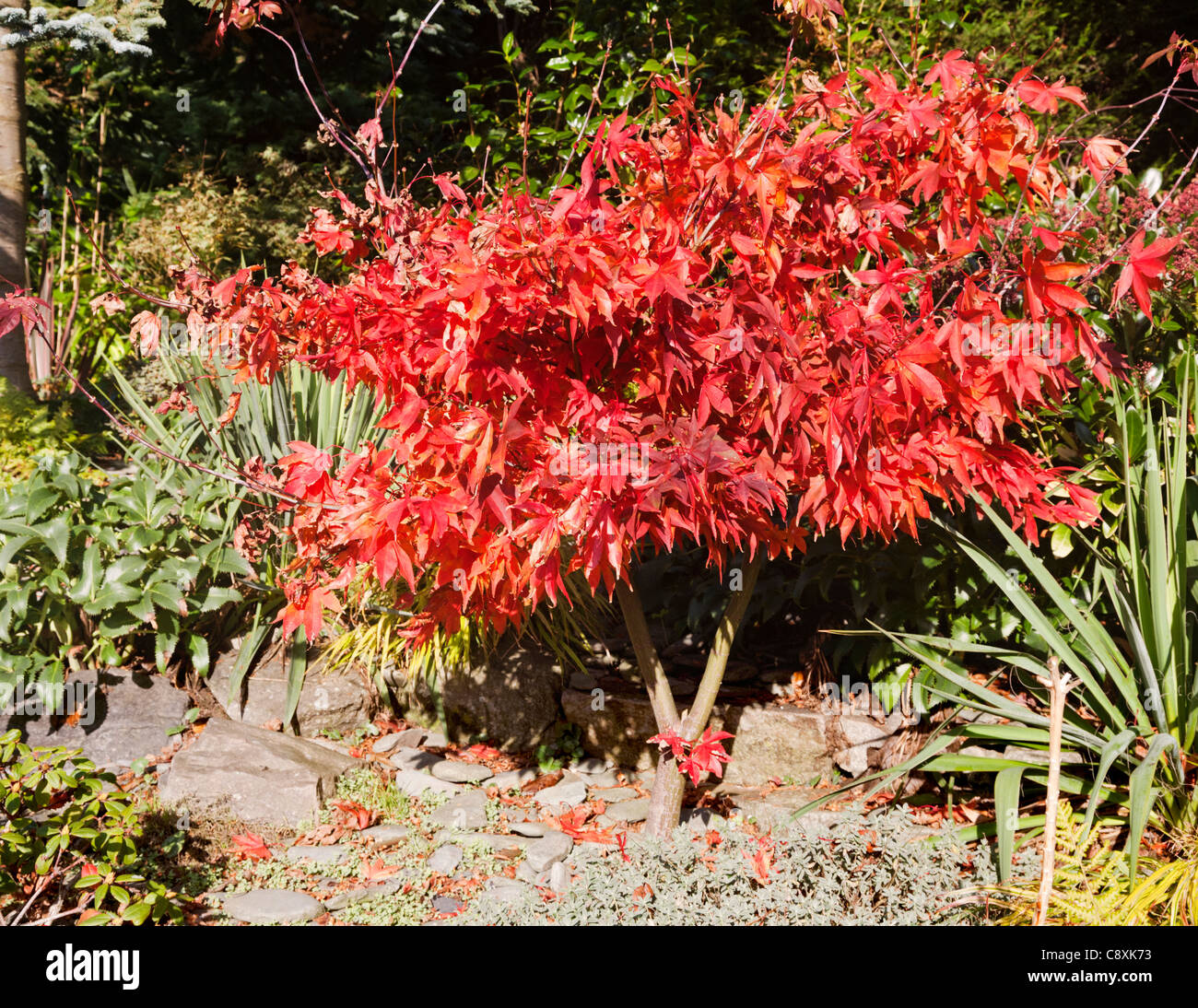 Vibrant red leaves of a Japanese maple in Autumn colour, Britain Stock Photo