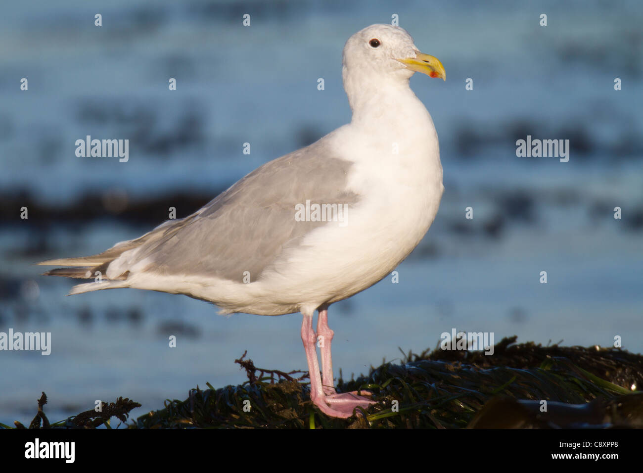 Adult Glaucous-winged Gull (Larus glaucescens) standing on shoreline - Stock Image