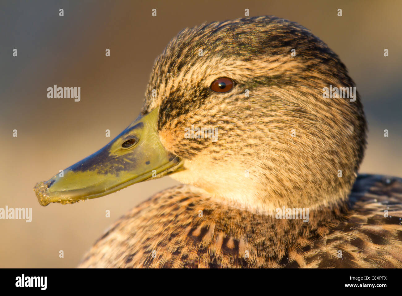 close-up of the head of a female Mallard (Anas platyrhynchos) - Stock Image