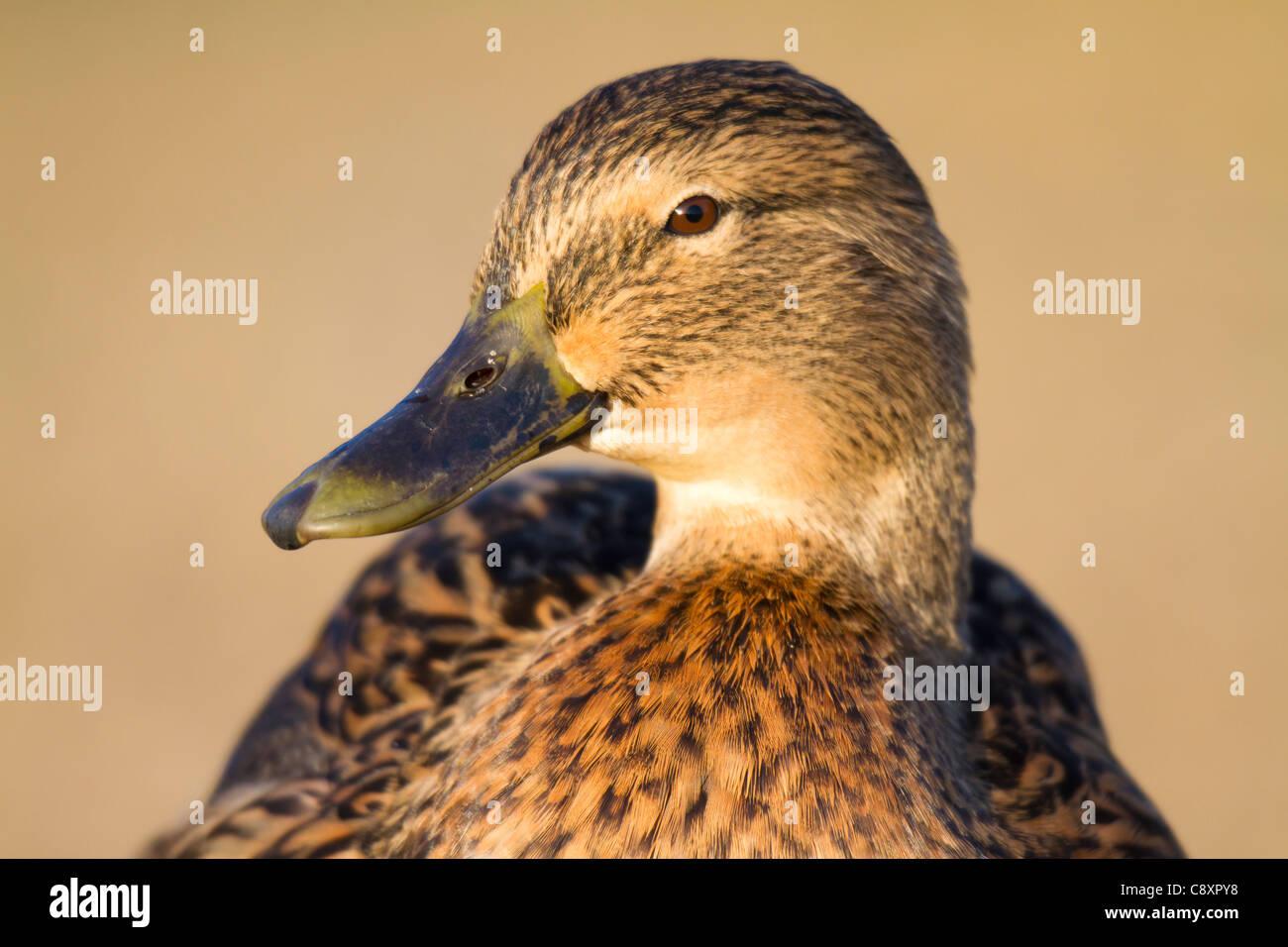 close-up of head of a female Mallard (Anas platyrhynchos) - Stock Image
