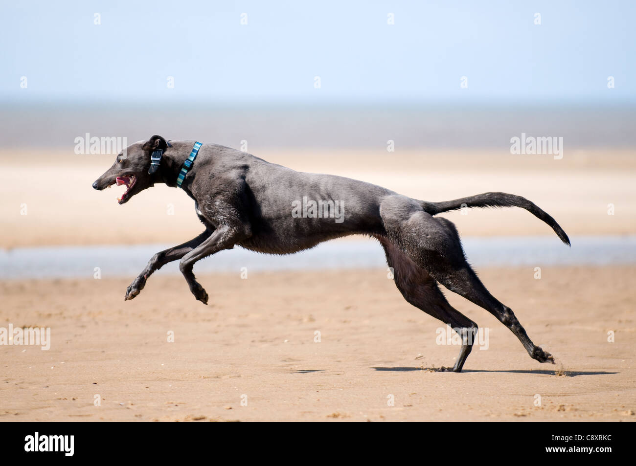 Greyhound running in full flight across the sand at Old Hunstanton, Norfolk, with the sea in the background. - Stock Image