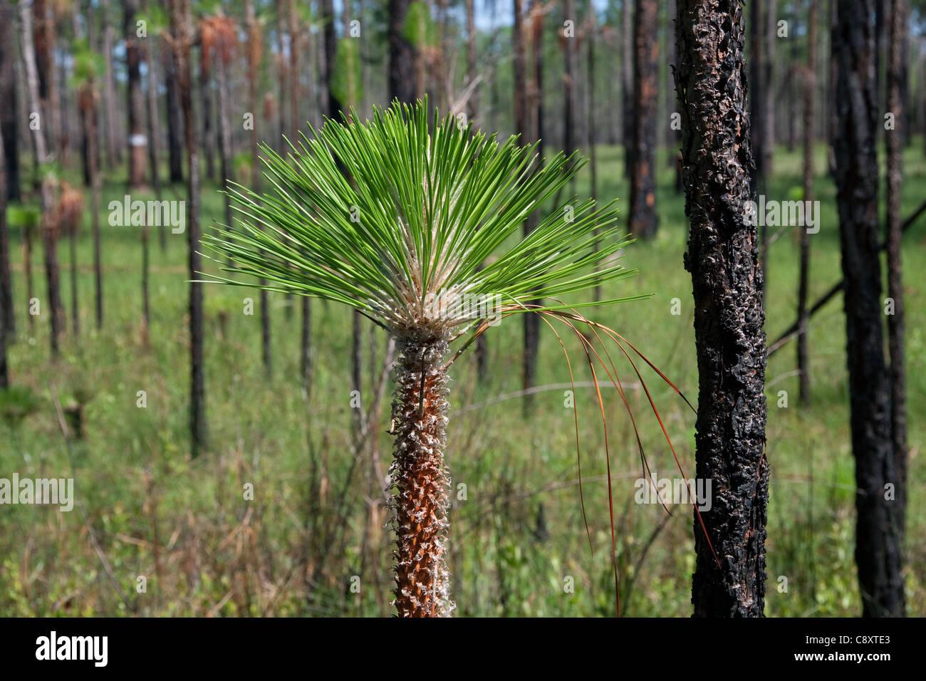Tip of young Longleaf Pine Tree or sapling Pinus palustris Florida USA - Stock Image
