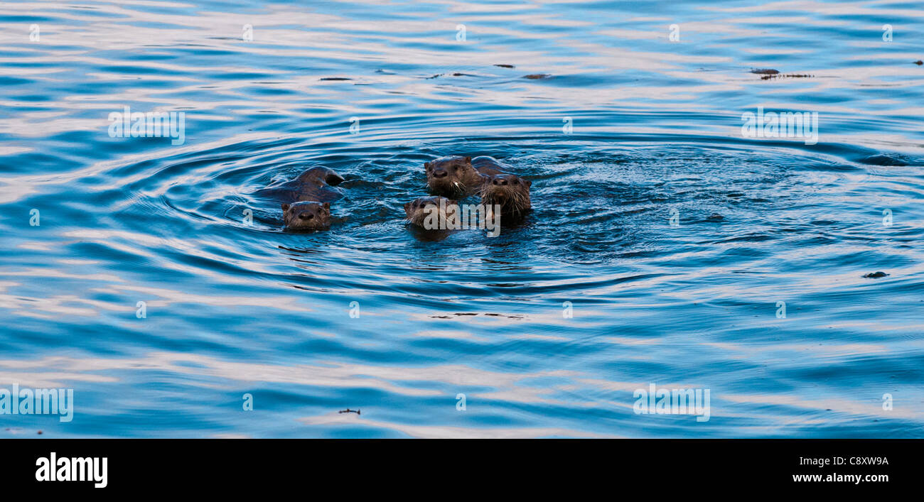 4 Land Otters swimming together in ocean off Sitka, Alaska - Stock Image