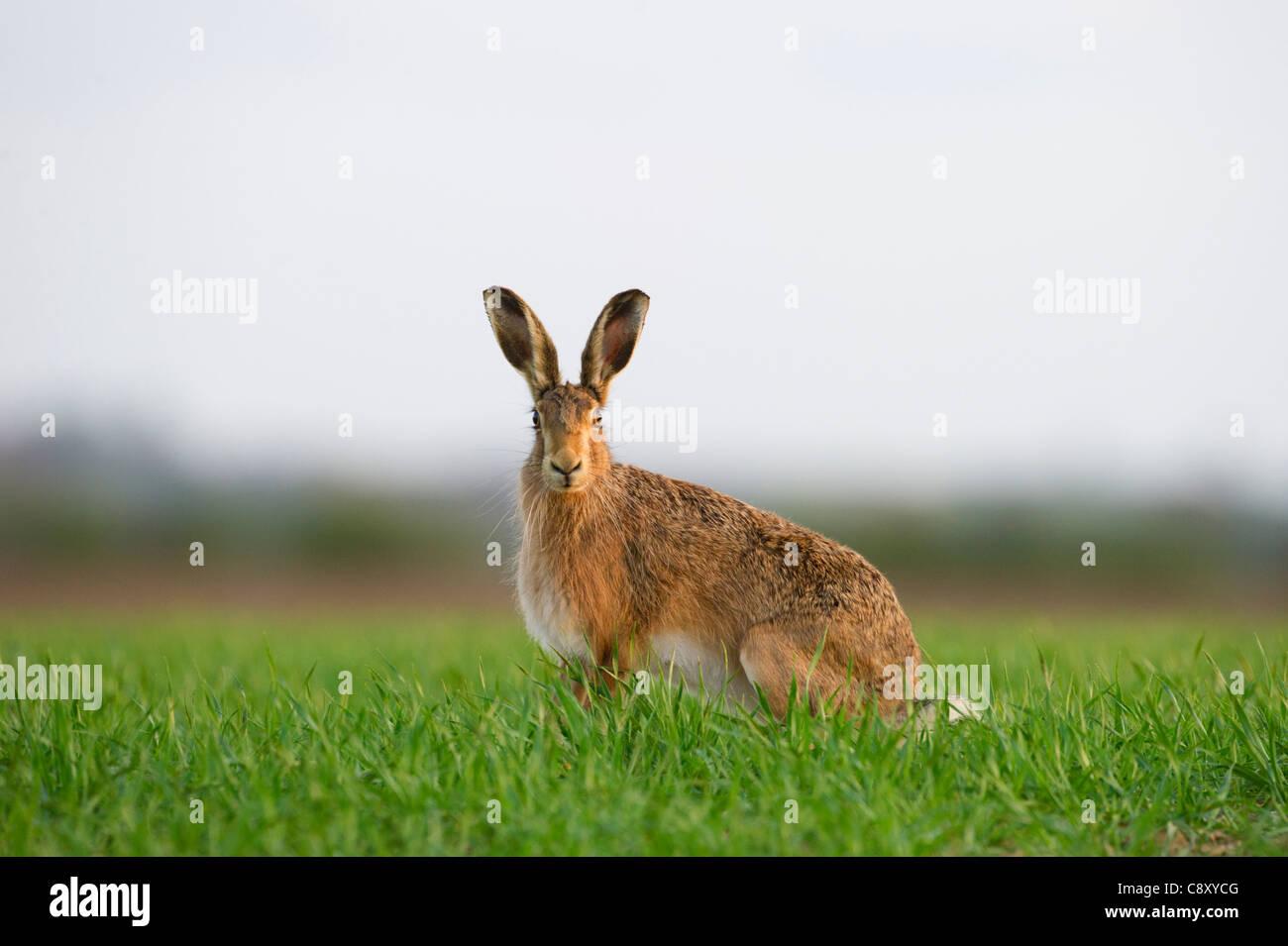 Brown Hare Leus europaeus Norfolk spring - Stock Image