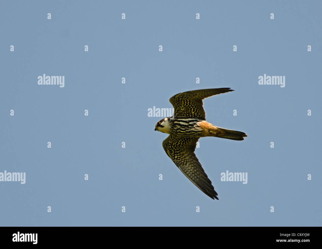 Hobby Falco subbuteo hunting over Lakenheath RSPB Reserve Suffolk / Norfolk - Stock Image