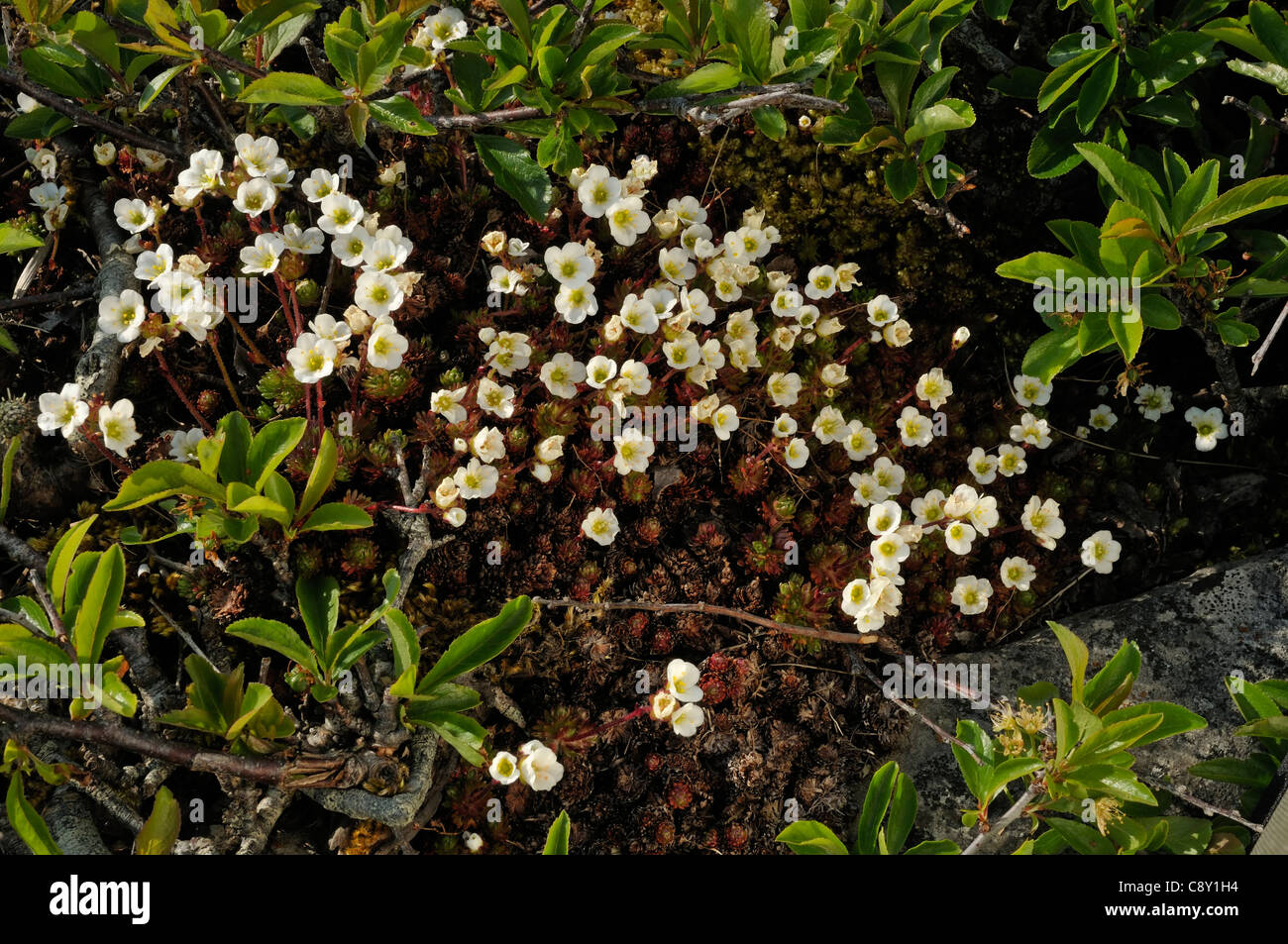 Irish Saxifrage - Saxifraga rosacea Stock Photo
