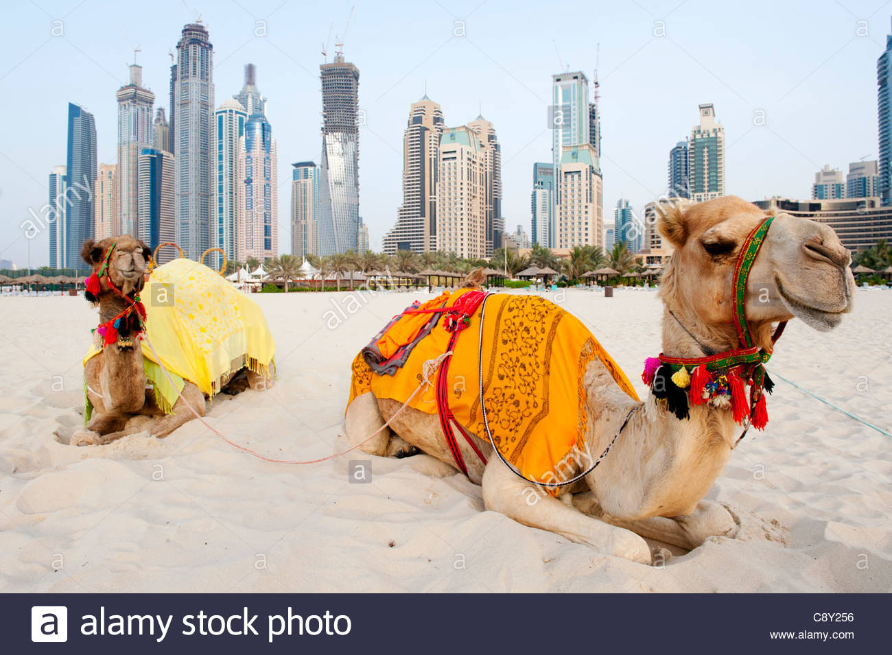 Camels on beach at jumeirah beach resort district with high rise camels on beach at jumeirah beach resort district with high rise buildings to rear in dubai united arab emiratesuae thecheapjerseys Image collections