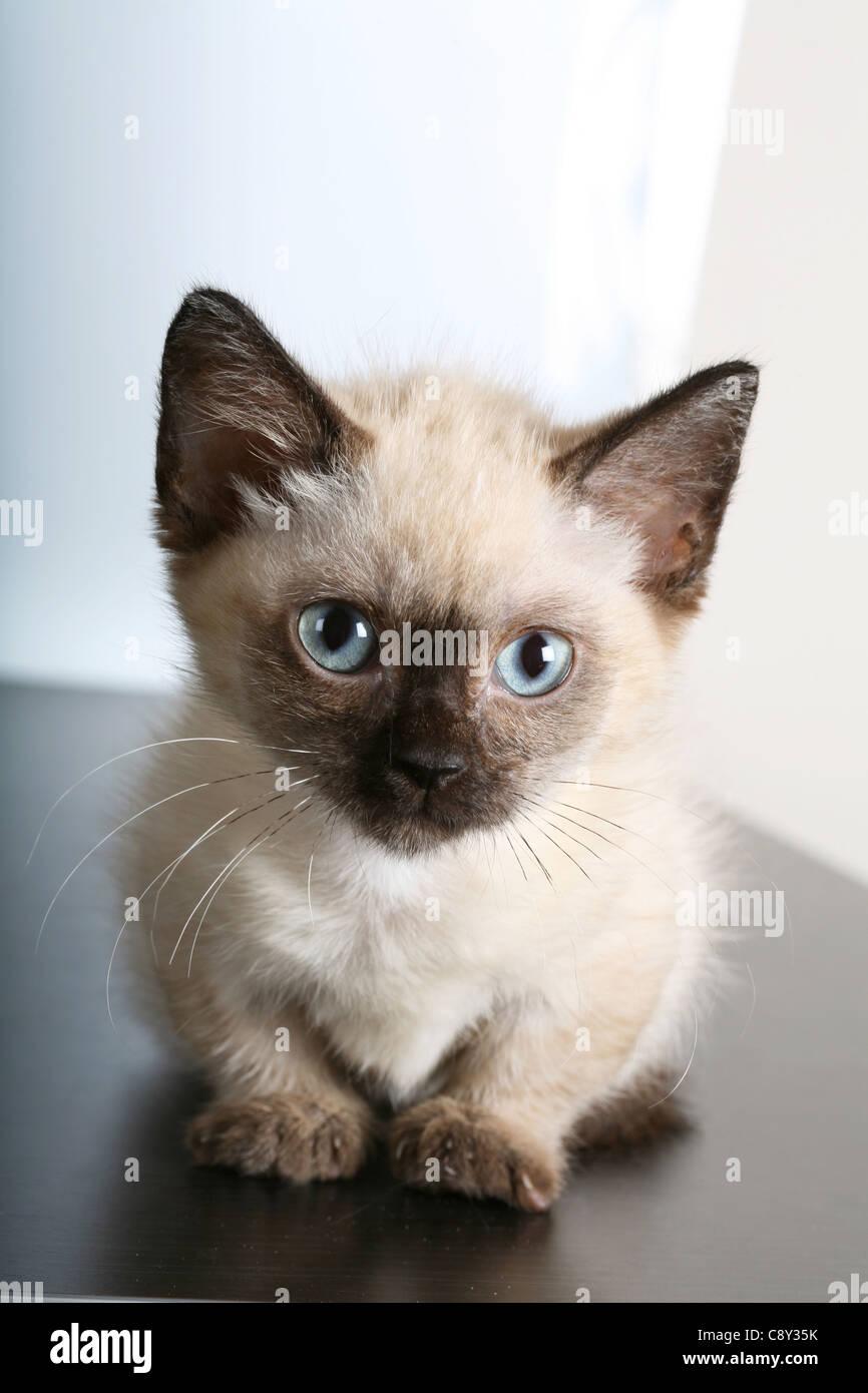 Munchkin kitten - Stock Image
