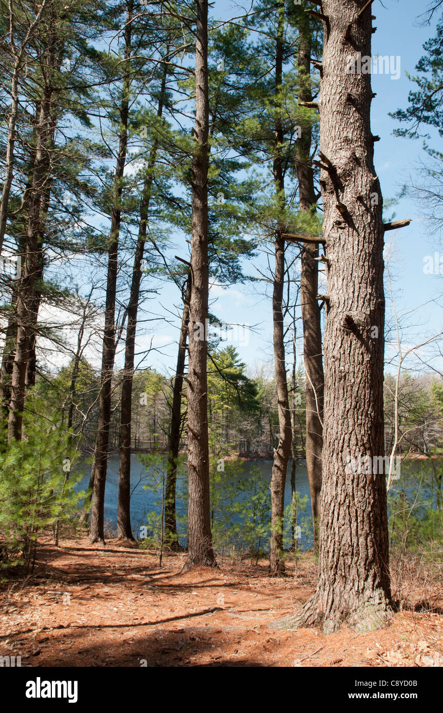 White Pine grove by a lake in Harold Parker State Forest, Andover, Massachusetts - Stock Image