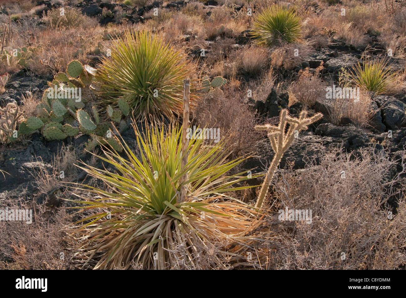 Sotol and cacti in lava field, Carrizozo Malpais lava flow at Valley of Fires, Tularosa Basin near Carrizozo, New - Stock Image