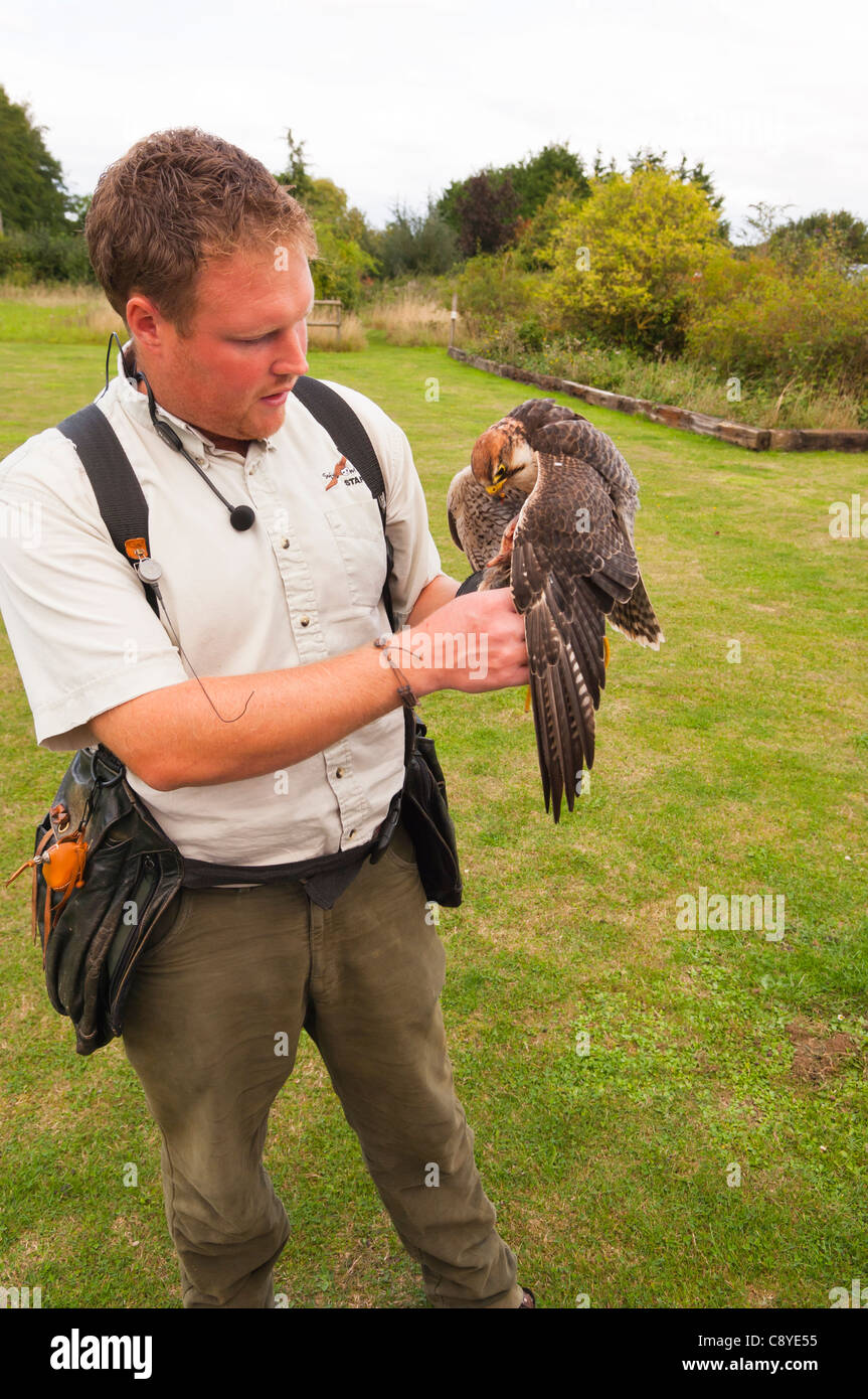 A captive Lanner Falcon ( falco biarmicus ) bird of prey with falconer at Stonham Barns in Suffolk , England , Britain - Stock Image