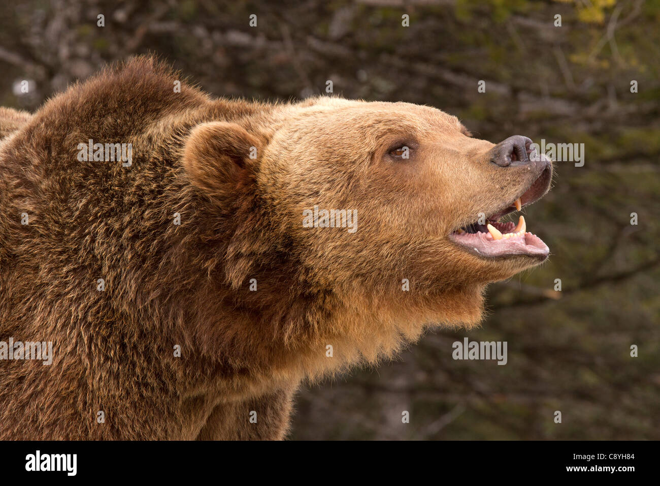 Grizzly Bear, Ursus arctos horribilis smiles for the camera - Stock Image