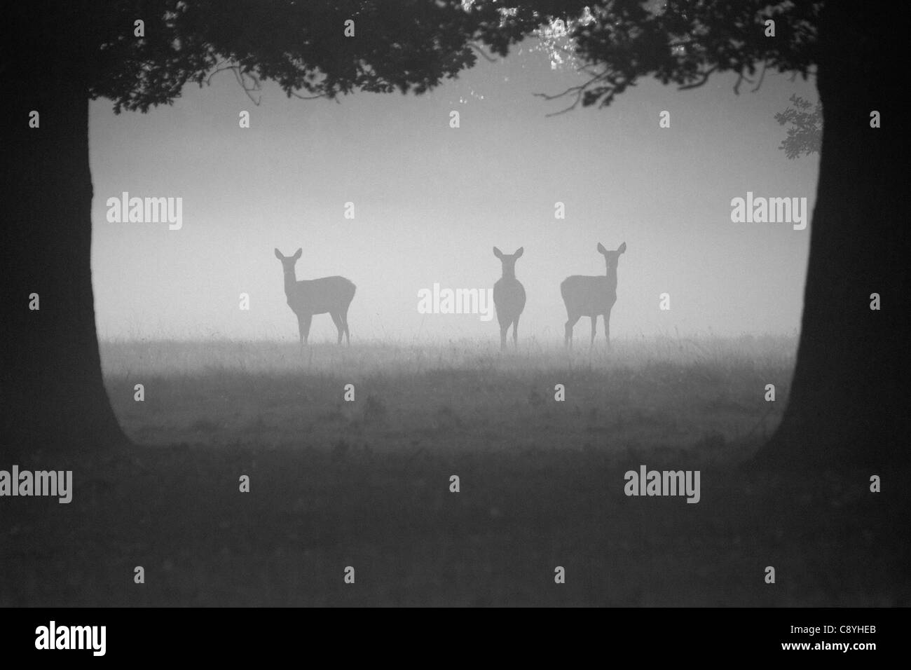 Red Deer hinds, Cervus elaphus standing in the early morning mist - Stock Image