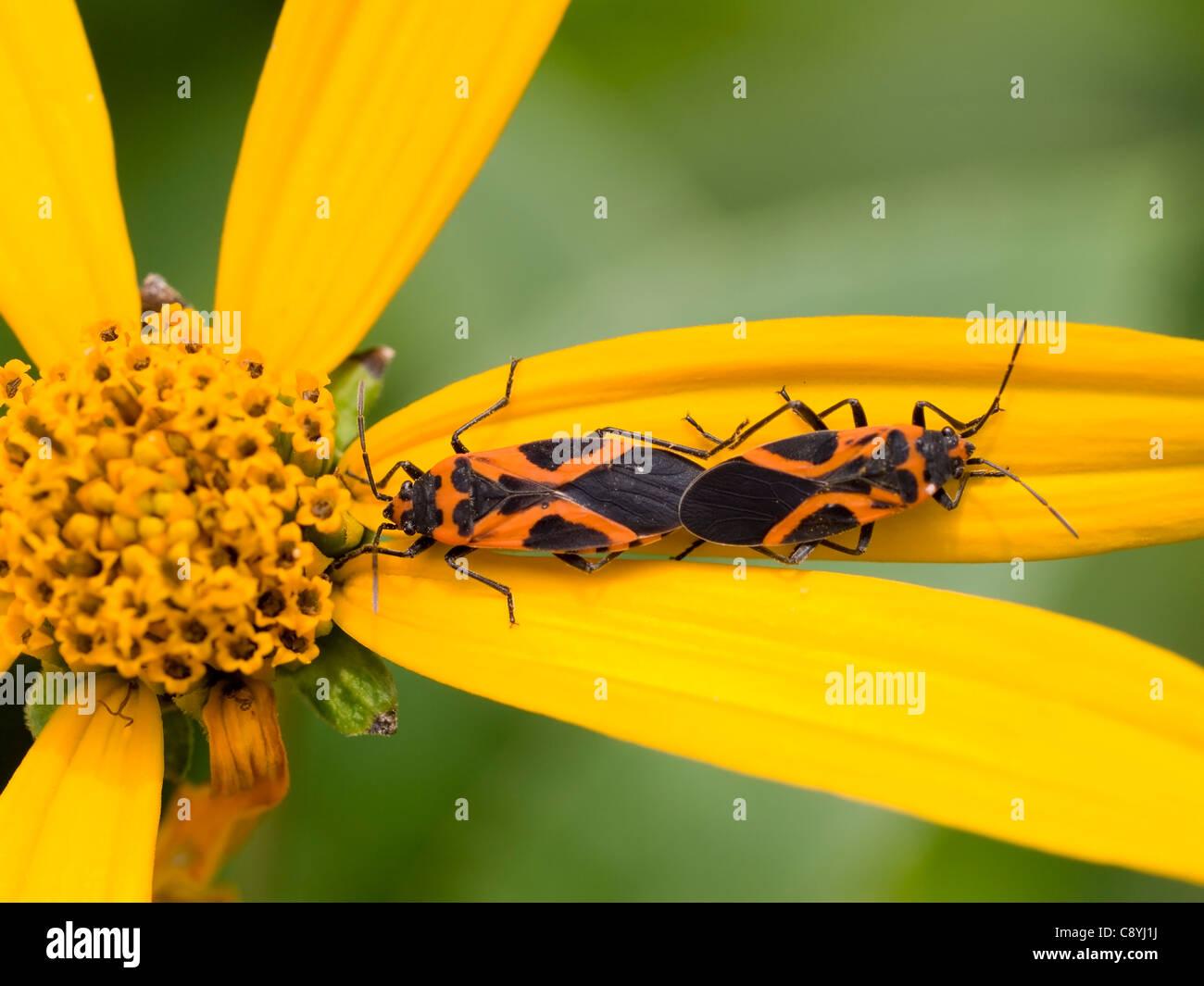Small Eastern Milkweed Bugs (Lygaeus turcicus) mating on Jerusalem Artichoke (Helianthus tuberosus) Stock Photo