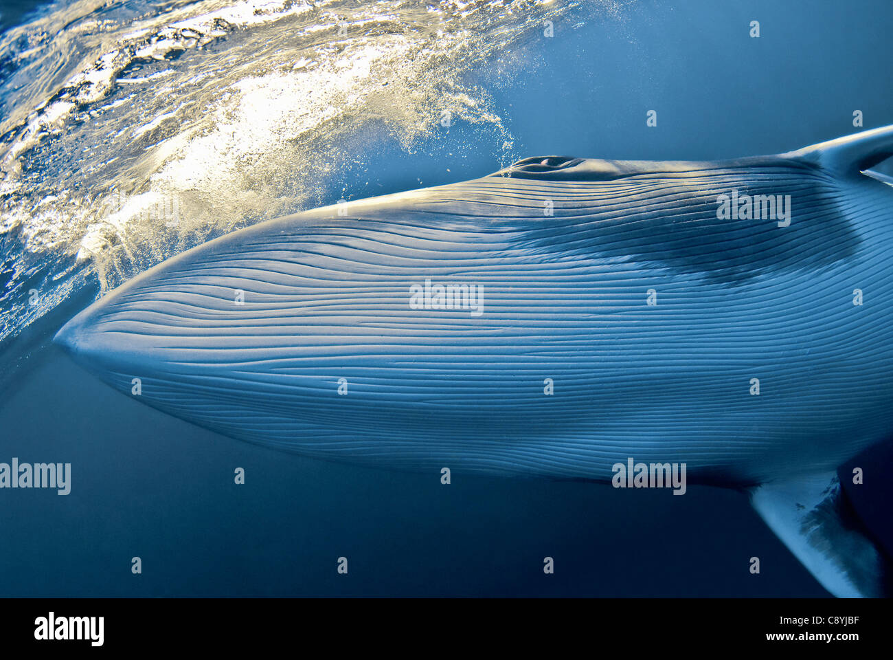 Dwarf Minke Whale Balaenoptera acutorostrata Great Barrier Reef, Coral Sea, Pacific Ocean, Queensland, Australia - Stock Image