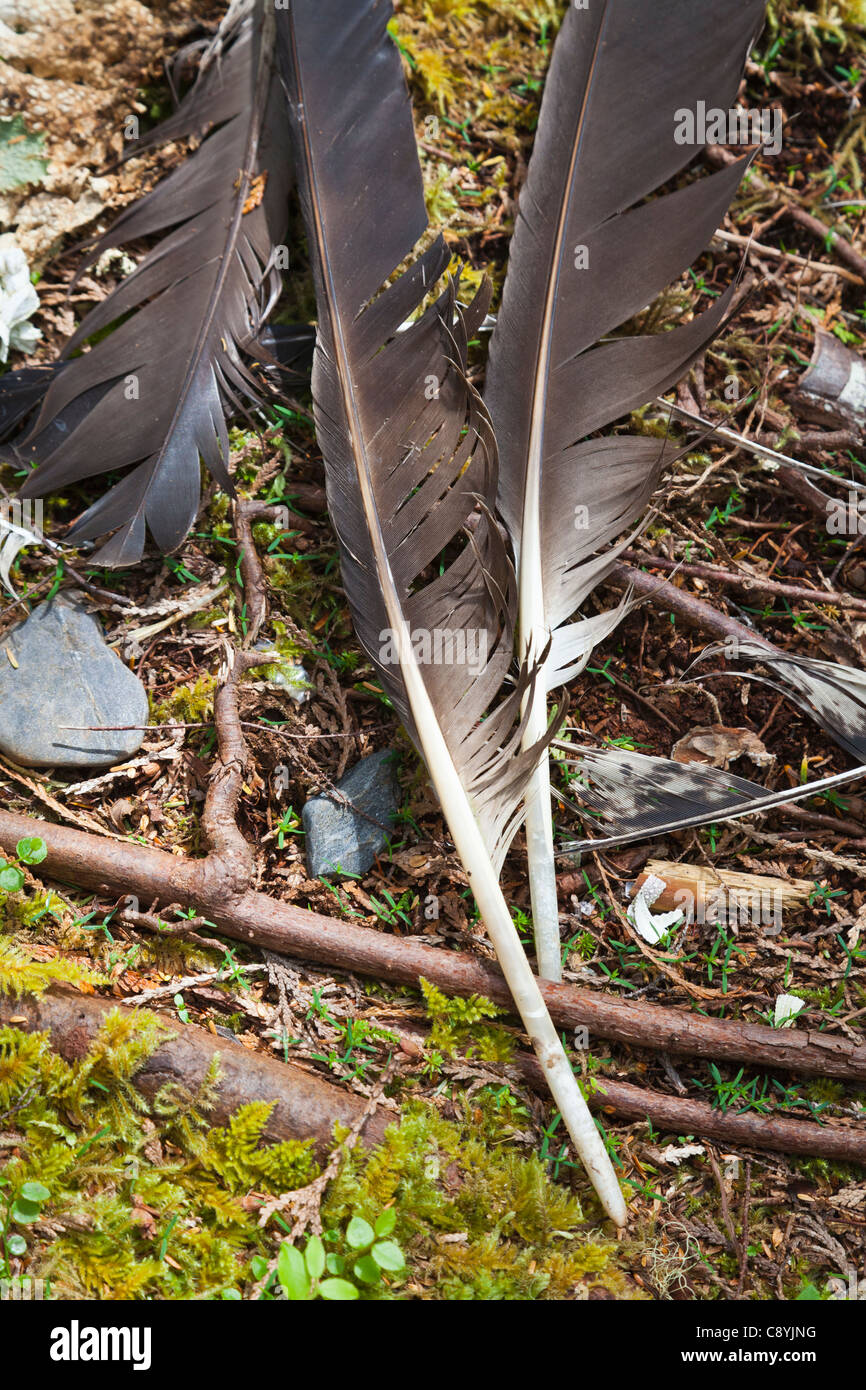 Eagle feathers in Tongass National Forest, Alaska - Stock Image