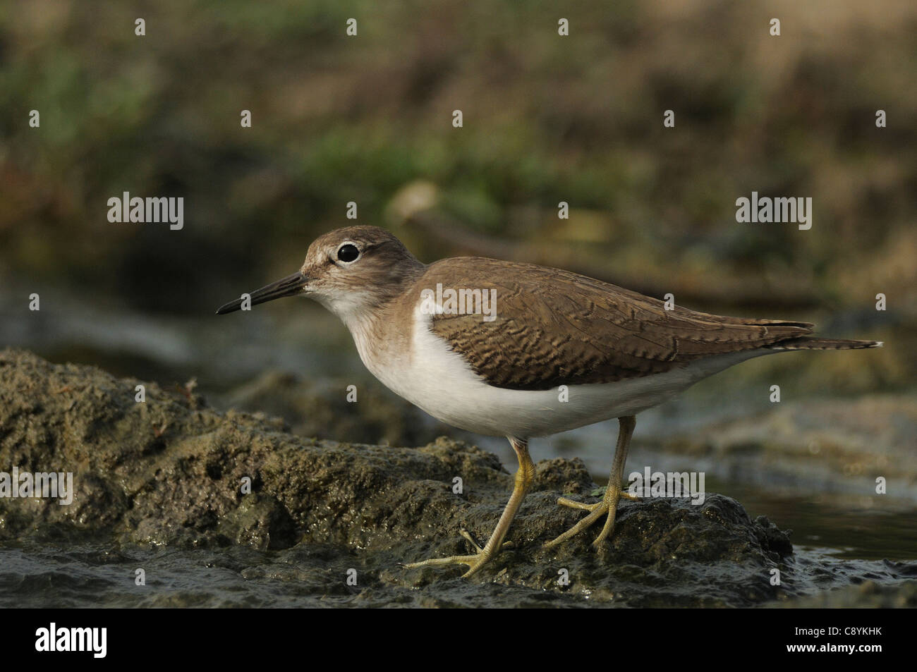 A Sandpiper in a stream in Bharatpur, India - Stock Image