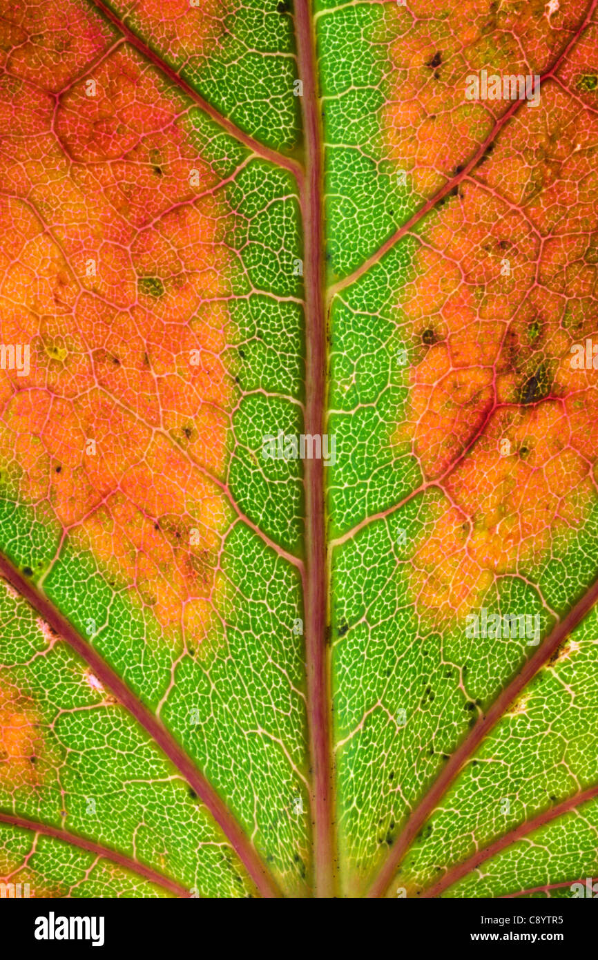 Close up of an autumn leaf - Stock Image