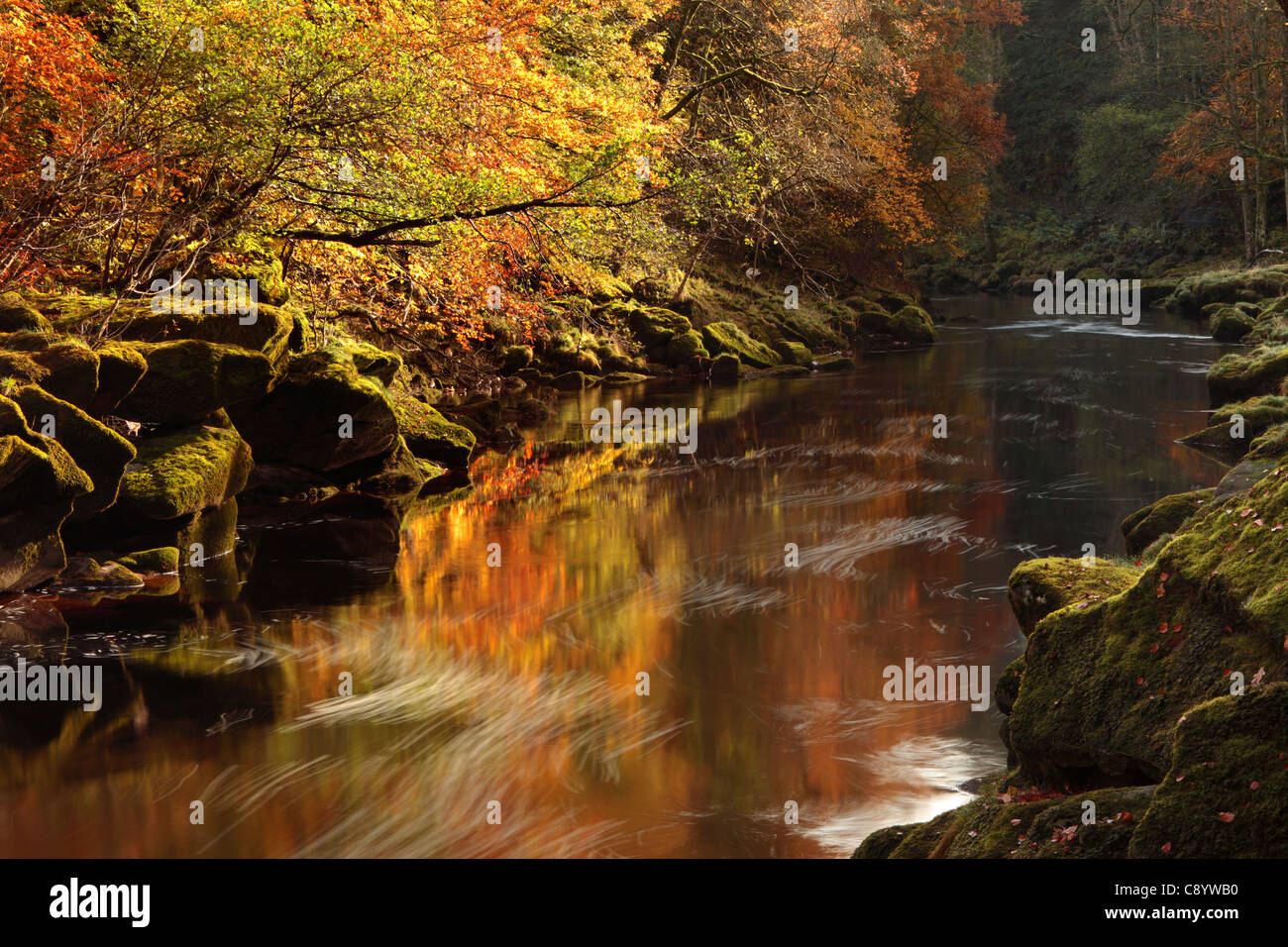 Ethereal light on the autumn foliage of Strid Wood in Wharfedale, Yorkshire - Stock Image