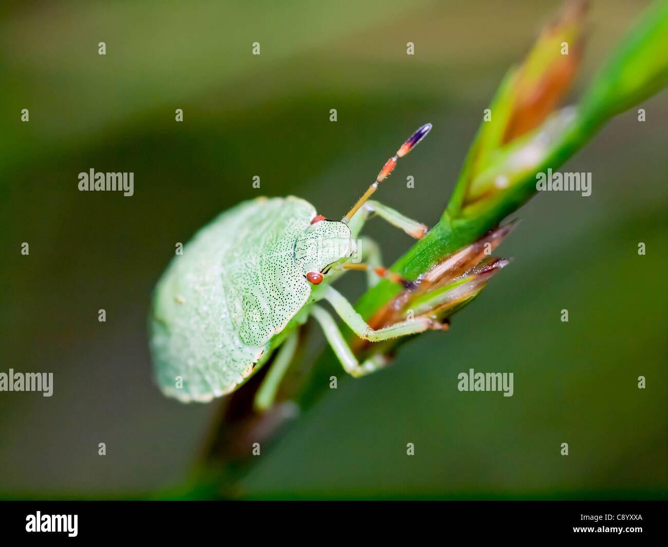 Green Bedbug Stock Photo 39951810 Alamy