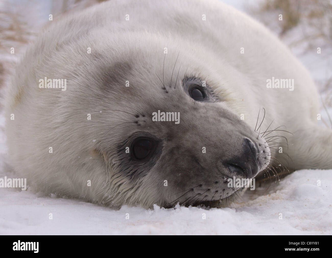 Portrait of a Grey seal pup, Halichoerus grypus lying in the snow Stock Photo