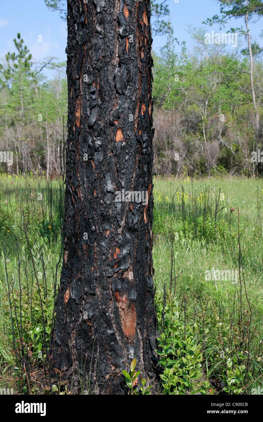 Recently burned Longleaf Pine Pinus palustris Forest Apalachicola National Forest Florida Panhandle USA - Stock Image