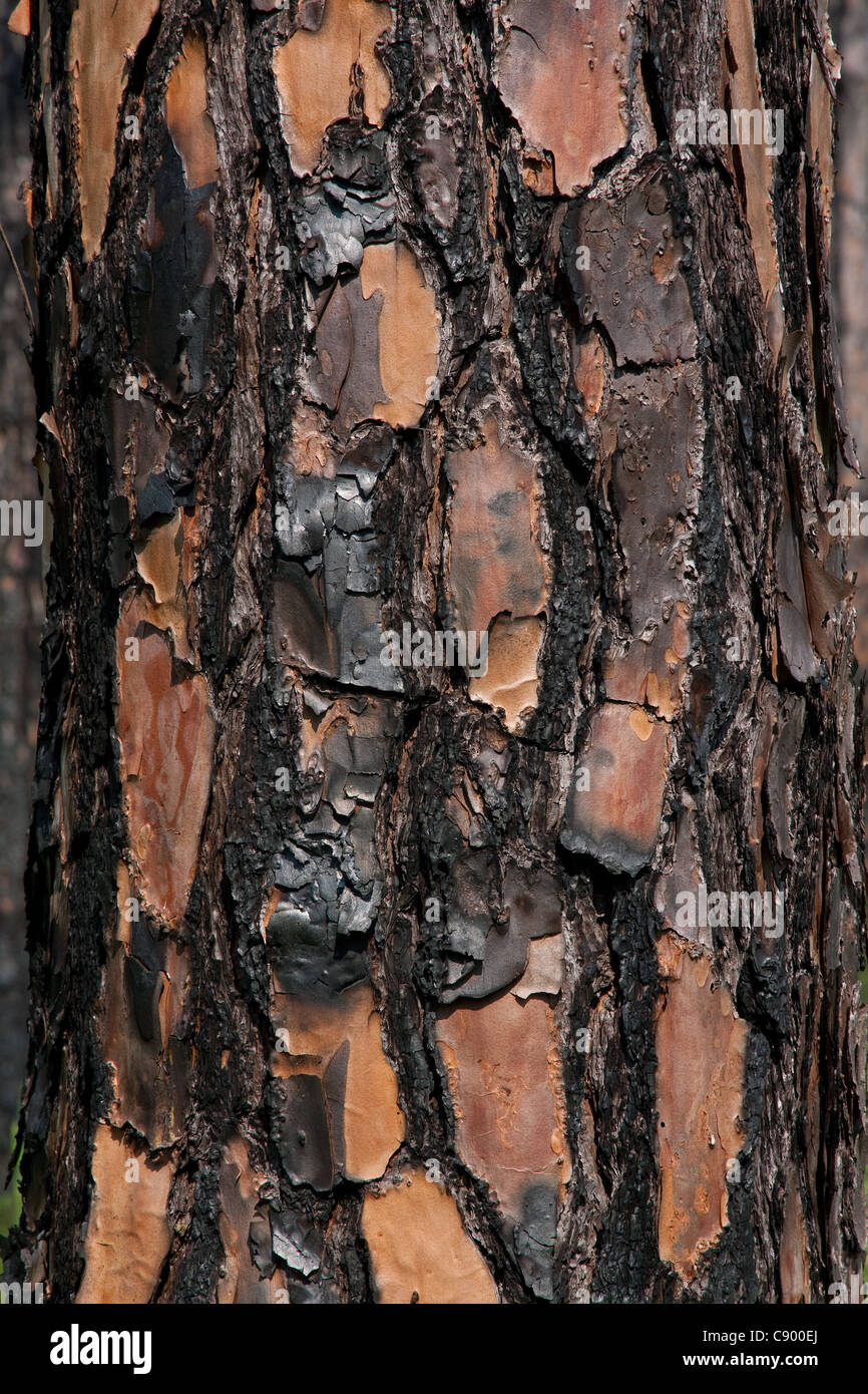 Close-up of recently burned Longleaf Pine tree Pinus palustris Forest Apalachicola National Forest Florida Panhandle - Stock Image
