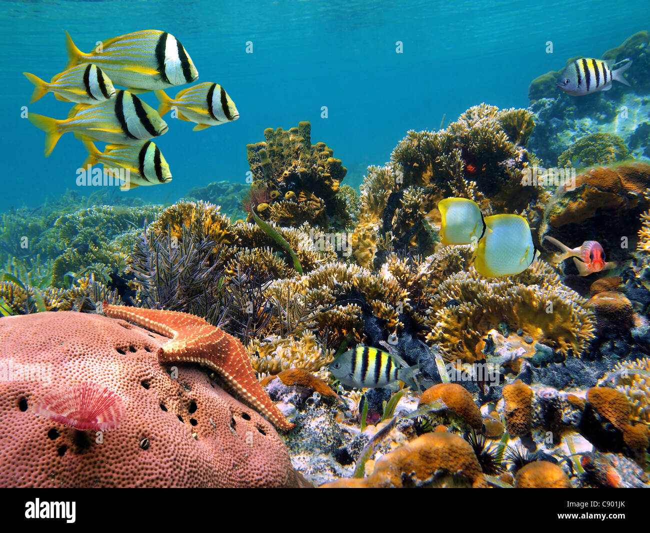 Tropical underwater marine in a thriving coral reef of the Caribbean sea - Stock Image