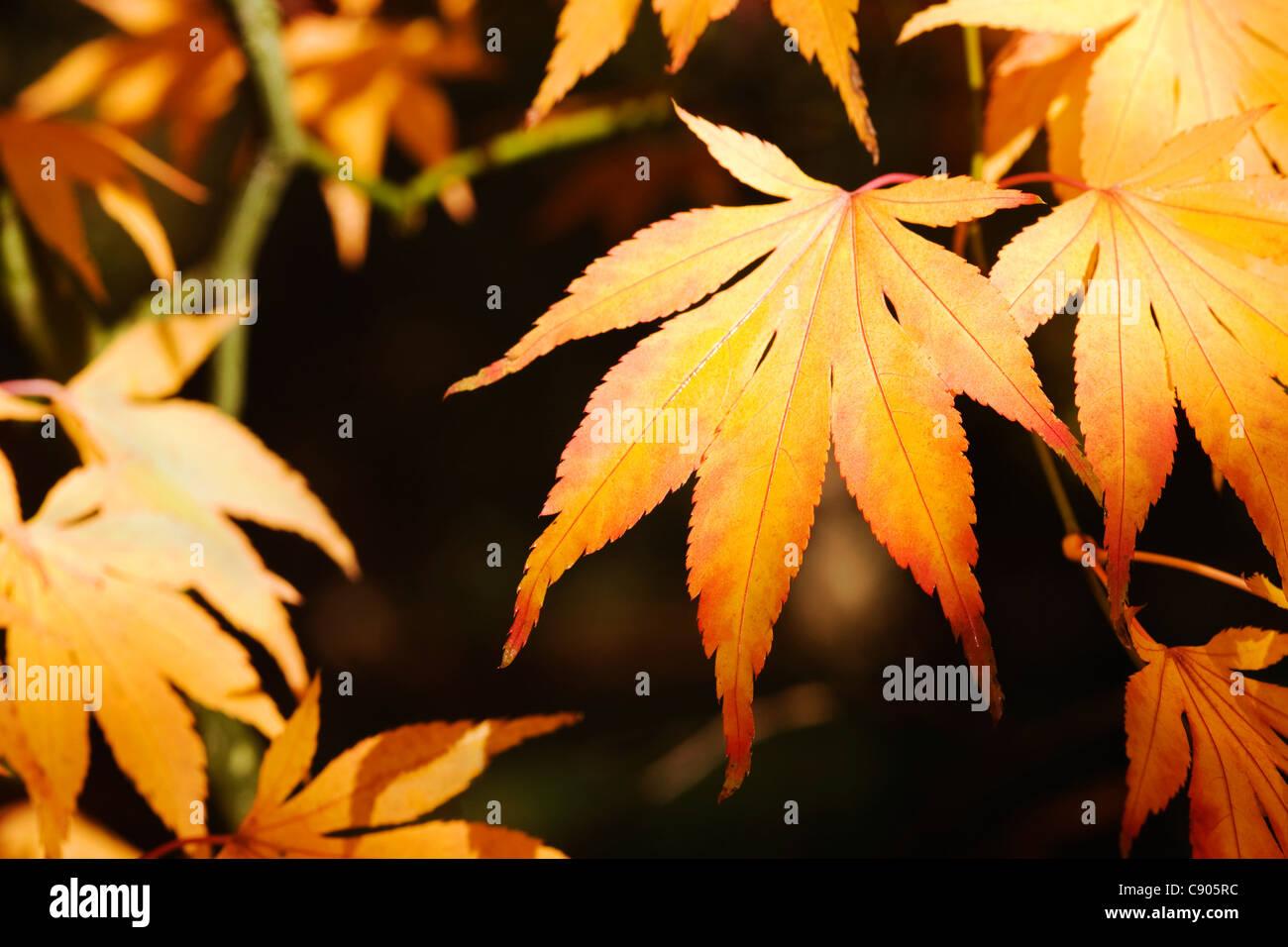 Acer palmatum. Sunlight shining on Autumn leaves. - Stock Image